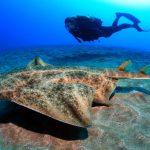 """El """"Angelote"""", un tiburón en peligro de extinción en el fondo marino de Lanzarote"""