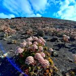 El espectáculo rosado que inunda Lanzarote cada final de primavera