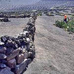 Un programa de recuperación ha mejorado 20 hectáreas de fincas abandonadas en La Geria